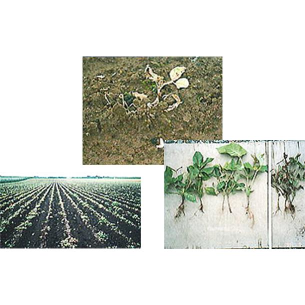北海道・帯広市契約農家にて緑豆契約栽培を行なう