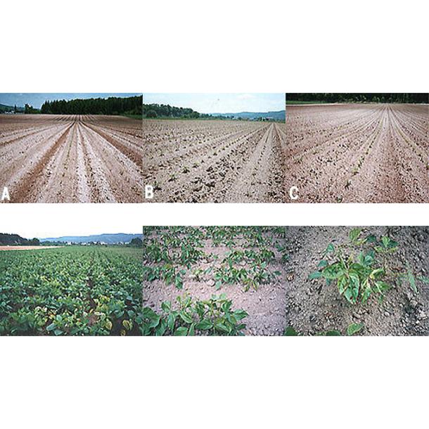 国産緑豆の栽培を試みた