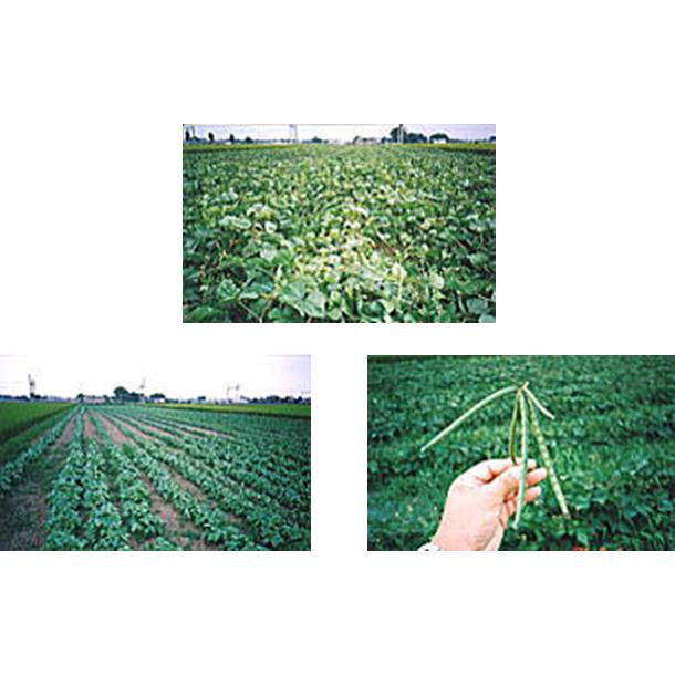 栃木県西方町にて国産緑豆の栽培を試みた